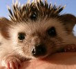 hedgehogs (4)