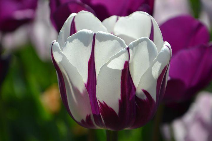 عکس گل لاله زیبا با کیفیت بالا