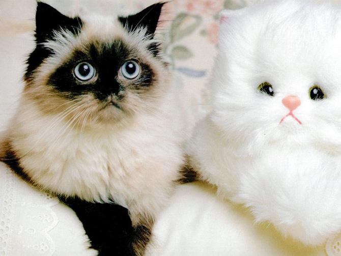 گربه های پشمالو