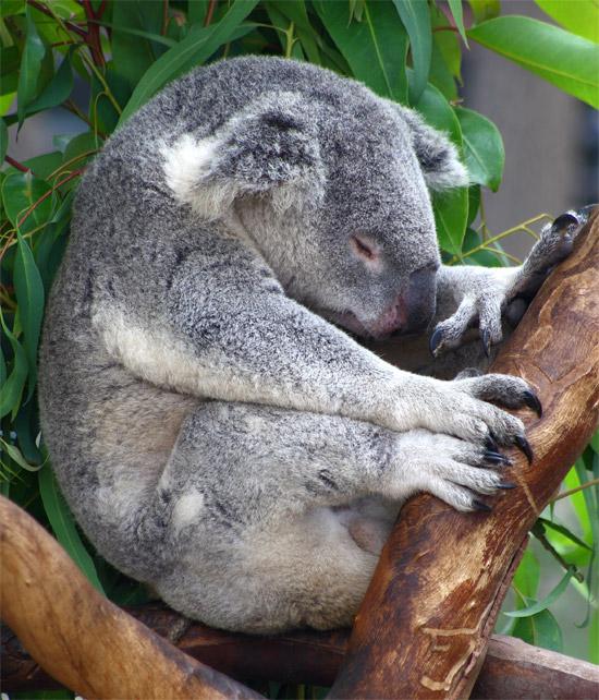 عکس کوالا در حال خواب