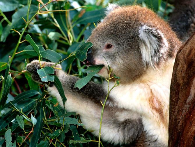 عکس کوالا در حال خوردن برگ درخت اکالیپتوس