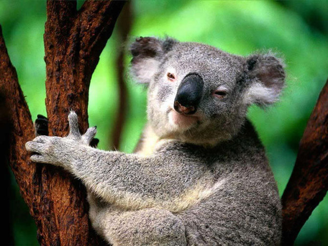 عکس زیبا از کوالا