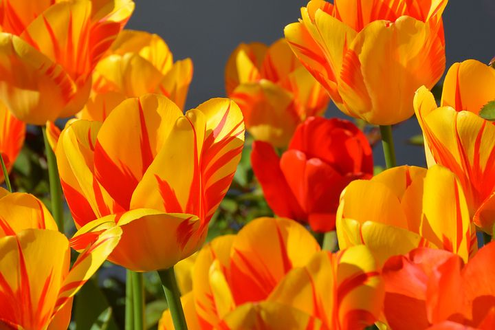 عکس گل لاله نارنجی
