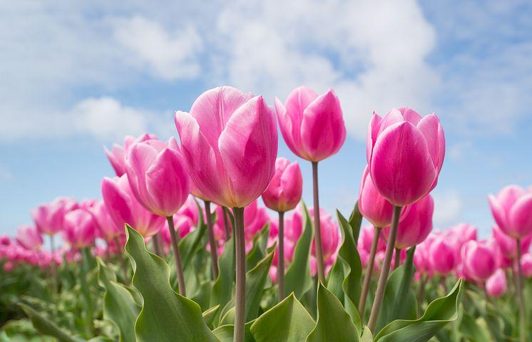 عکس پروفایل گل لاله طبیعی