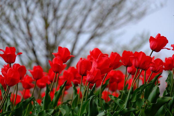 عکس گل لاله سرخ , گل لاله قرمز