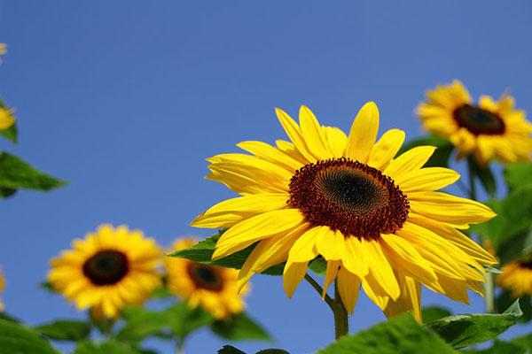 عکس گل آفتابگردان در طبیعت