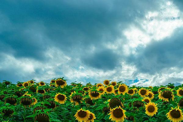 عکس گل آفتابگردان در روز بارانی