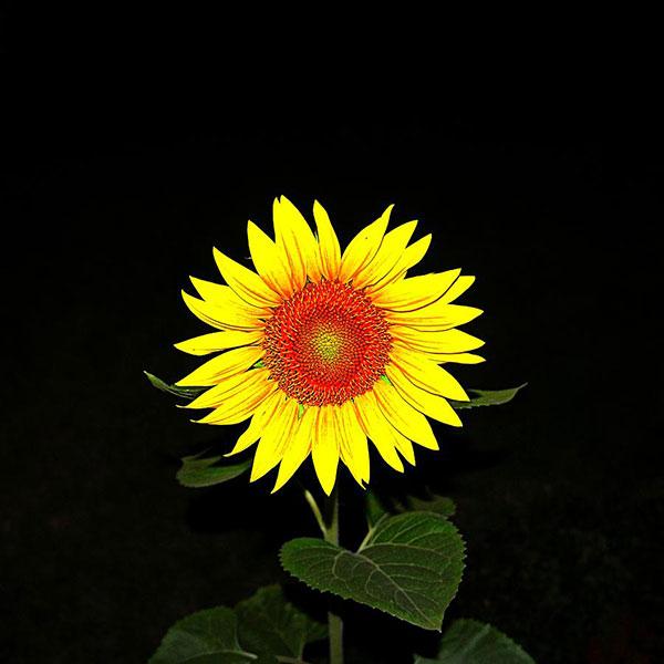 عکس گل آفتابگردان در شب