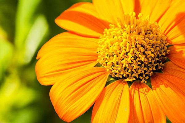 عکس نمای نزدیک از گلبرگ های آفتابگردان