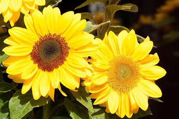 عکس گل آفتابگردان