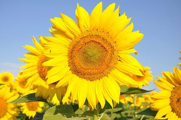 عکس مزارع گل آفتابگردان