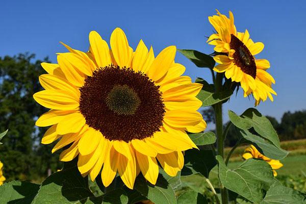 عکس گل آفتابگردان با کیفیت بالا