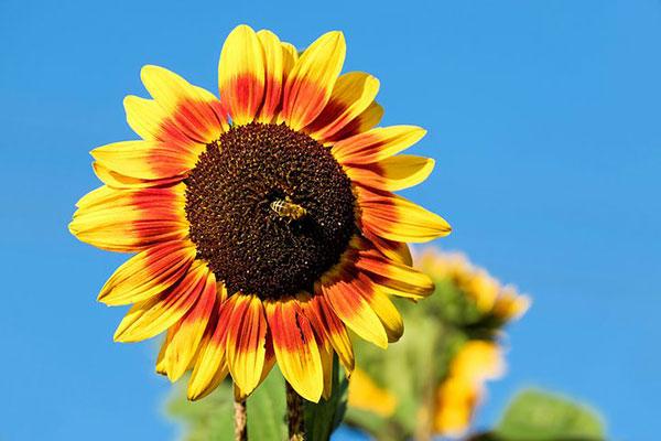 عکس های گل آفتاب گردان زرد و قرمز