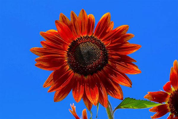عکس های گل آفتاب گردان قرمز