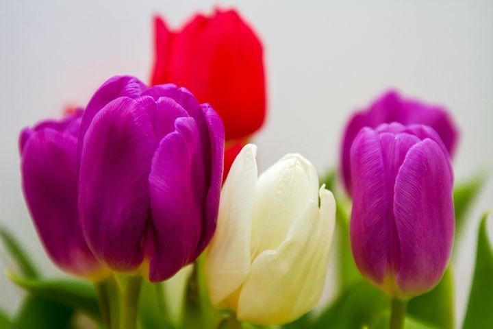 تصاویر گل لاله برای پروفایل