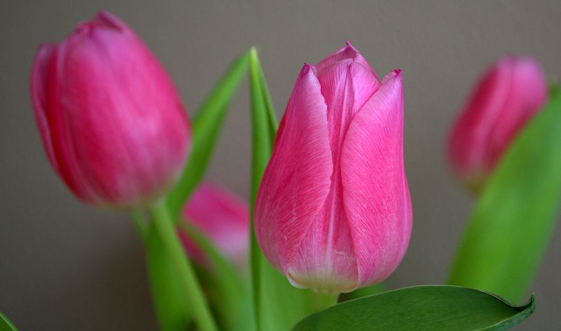 تصویر گل لاله صورتی رنگ