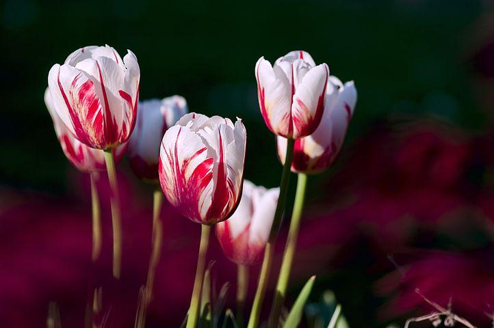 عکس گل لاله سفید و قرمز