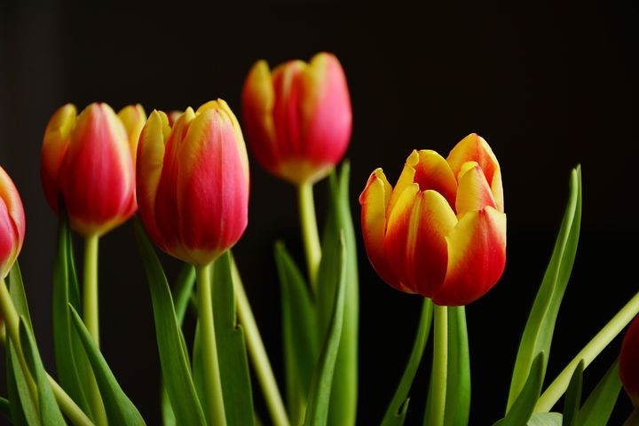 عکس گل لاله زیبا و جذاب