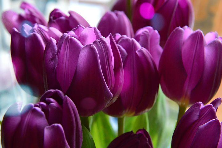 عکس گل لاله بنفش