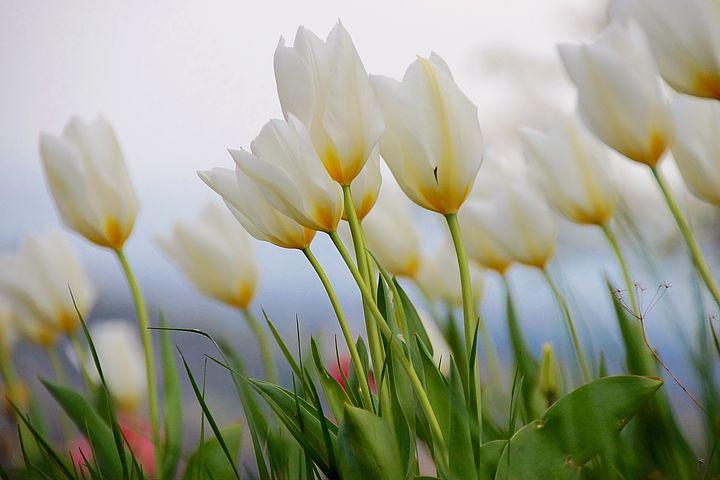 عکس گل لاله سفید
