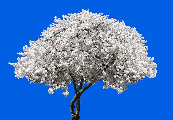 عکس درخت گیلاس