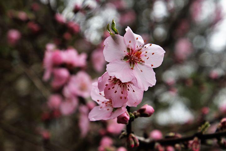 عکس گل درخت گیلاس