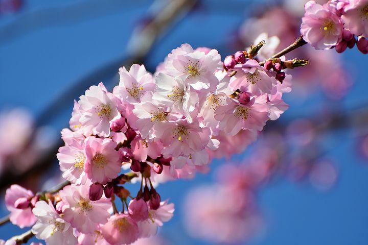 عکس شکوفه های درخت گیلاس در ژاپن