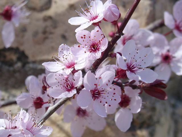 تصاویر شکوفه های بهاری درخت گیلاس