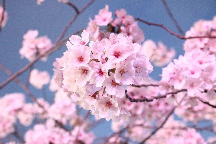 عکس شکوفه های درخت ساکورا