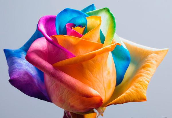 گل های رز رنگین کمانی (1)