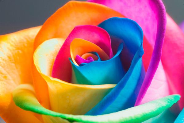 گل های رز رنگین کمانی (2)