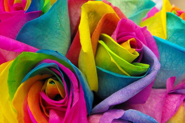 گل های رز رنگین کمانی (3)