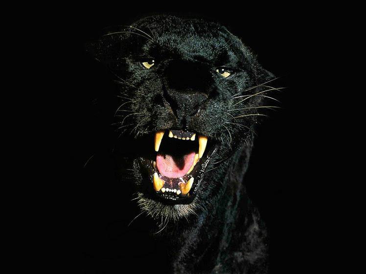 ببر سیاه