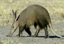 عکس خوک خاکی