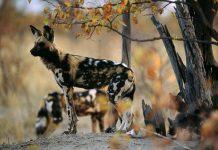 عکس سگ های وحشی آفریقایی