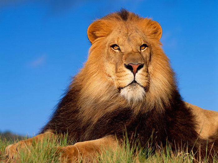 عکس شیر سلطان جنگل (1)
