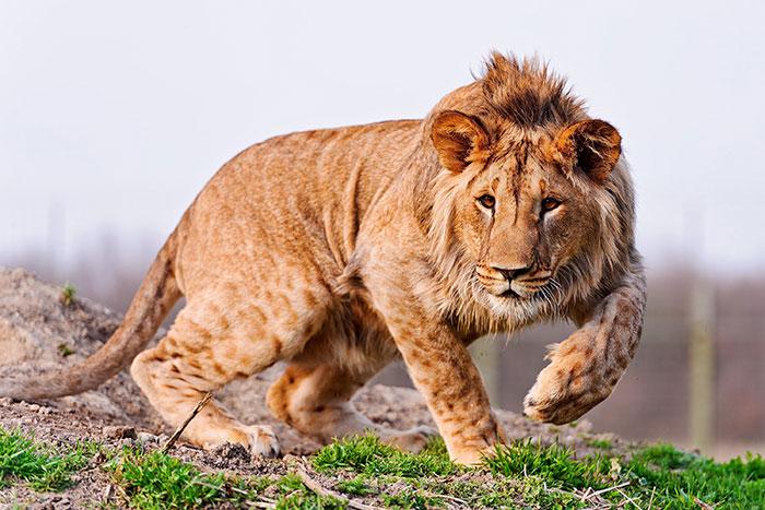 عکس شیر سلطان جنگل (10)