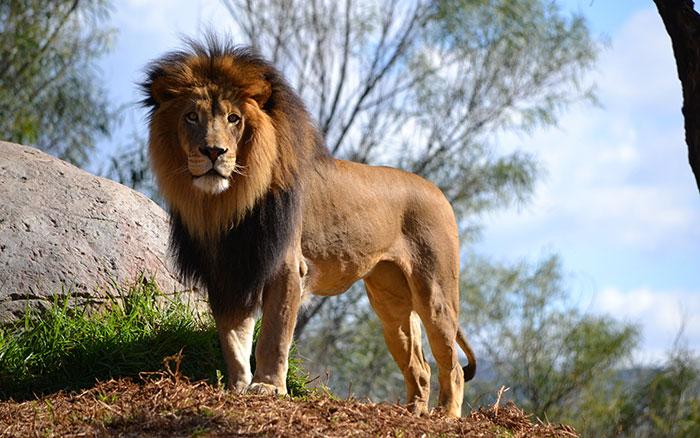 عکس شیر سلطان جنگل (11)