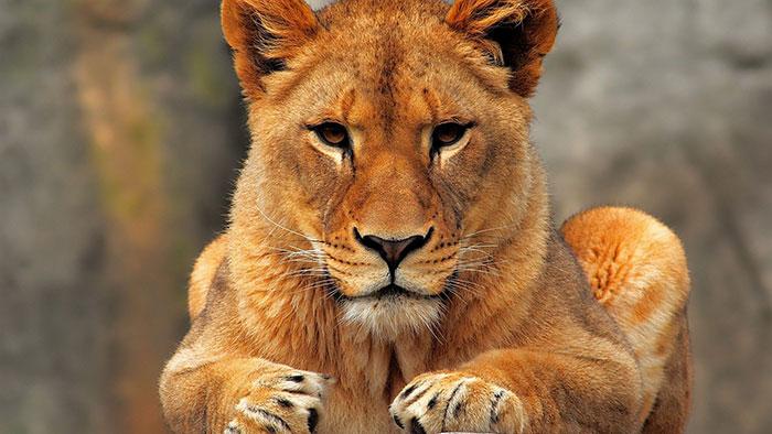 عکس شیر سلطان جنگل (12)