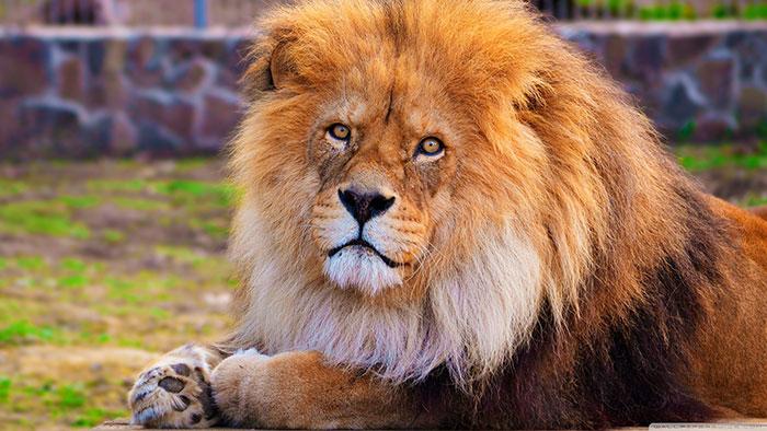 عکس شیر سلطان جنگل (13)