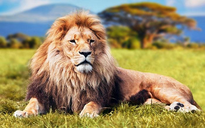 عکس شیر سلطان جنگل (14)