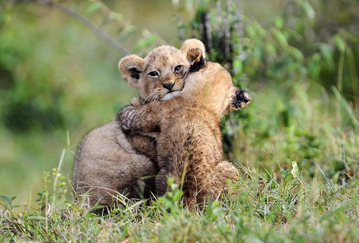 عکس شیر سلطان جنگل (15)