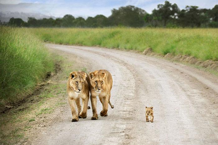 عکس شیر سلطان جنگل (16)