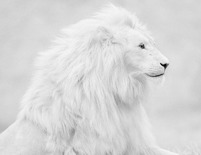 عکس شیر سفید یا آلبینو و زال (17)