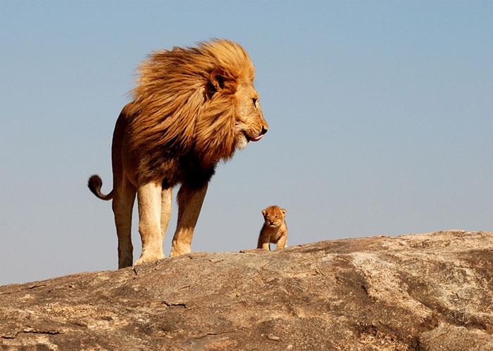 عکس شیر سلطان جنگل (21)