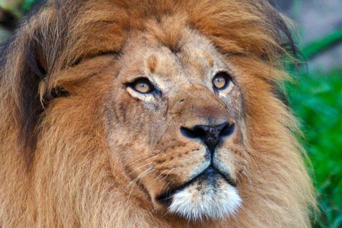 عکس شیر سلطان جنگل (23)