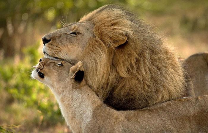 عکس شیر سلطان جنگل (24)