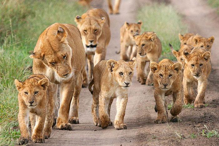 عکس شیر سلطان جنگل (25)