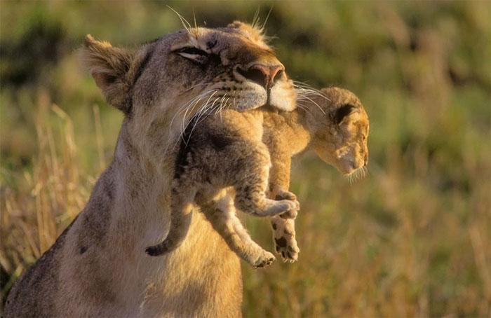 عکس بچه شیر و مادرش (27)