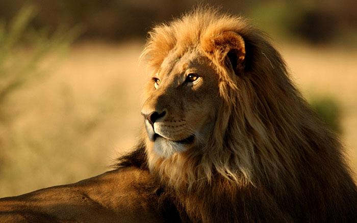 عکس شیر سلطان جنگل (3)
